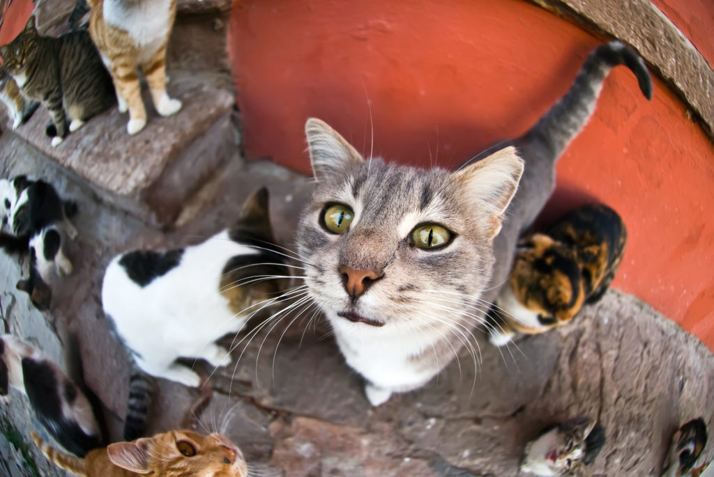 Calculating how many feral cats there are in Los Angeles is difficult, but animal experts estimate the figure is between 1 and 3 million. Photo: Getty Images/HiBakusha.