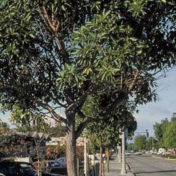 Three trees will be removed from Larchmont Boulevard as the first step in an overall plan to gradually phase out the ficus trees and replace them with a less root-invasive species.