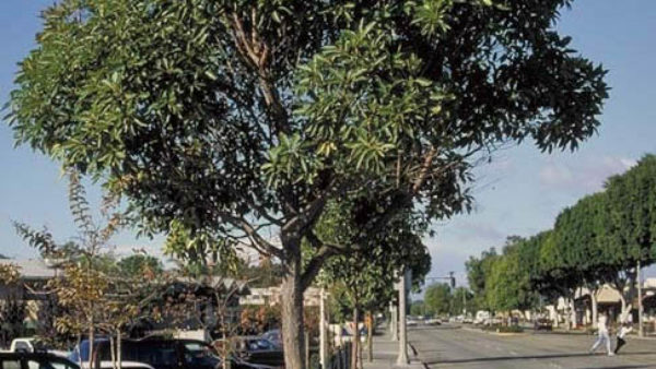Ficus Tree Phase Out